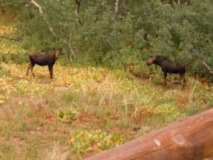 Moose Below Cabin